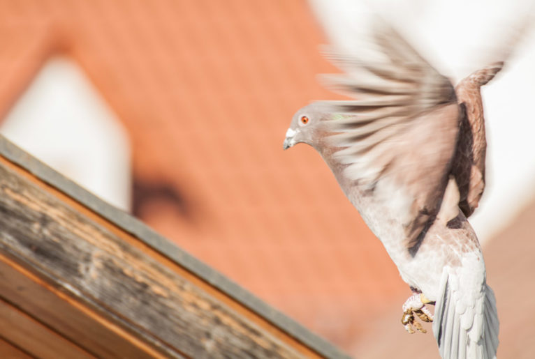 Tauben Dach